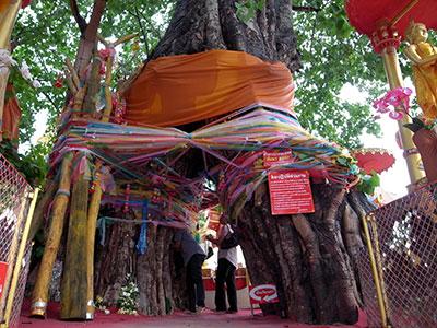 菩提樹をくぐって御利益を願う